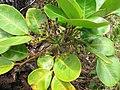 Starr-110827-8581-Polyscias oahuensis-leaves and flower buds-Waihee Ridge Trail-Maui (24473409064).jpg