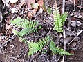 Starr-120425-4901-Doodia kunthiana-habit-Waikapu Valley-Maui (25046576231).jpg