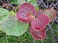 Starr-120620-7492-Actinidia deliciosa-leaves-Kula Agriculture Station-Maui (24515106094).jpg