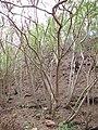 Starr-130318-2714-Thevetia peruviana-thicket view understory-Kilauea Pt NWR-Kauai (24577217284).jpg