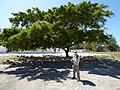 Starr-150326-0903-Ficus benjamina-Gym Kim and Laysan Albatrosses-Town Sand Island-Midway Atoll (25240856806).jpg