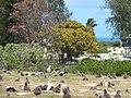 Starr-150401-0257-Thespesia populnea-habit-Clipper House Sand Island-Midway Atoll (25179380021).jpg