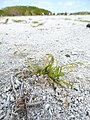 Starr-150402-0821-Poa annua-habit on abandoned runway-Northeast Eastern Island-Midway Atoll (24904343659).jpg