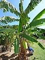 Starr-151029-0372-Musa x paradisiaca-Maia Maoli Manaiula fruiting habit-Maui Nui Botanical Garden Kahului-Maui (25679725523).jpg