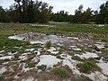 Starr-170629-0332-Solanum americanum-old building pad with Laysan Albatross chicks-Radar Hill Sand Island-Midway Atoll (36060278210).jpg