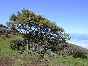 Sophora chrysophylla - Māmane trees