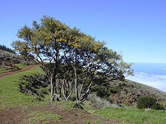 Mauna Kea - A pair of māmane (Sophora chrysophylla) trees