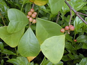 Starr 020227-0070 Ficus triangularis.jpg
