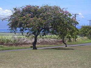 Cassia (genus) - Cassia javanica