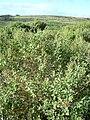Starr 040120-0208 Chenopodium oahuense.jpg