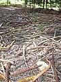 Starr 040812-0072 Araucaria columnaris.jpg