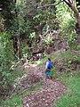 Starr 041221-1840 Eucalyptus sp..jpg