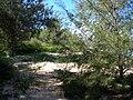 Starr 050108-3028 Casuarina equisetifolia.jpg