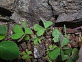 Starr 050224-4521 Oxalis corniculata.jpg
