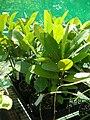 Starr 050303-4830 Calophyllum inophyllum.jpg