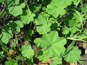 Flora of Azerbaijan - Malva parviflora