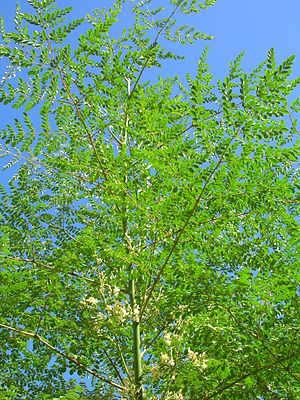English: Moringa oleifera (leaves and flowers)...