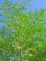 Starr 060921-9054 Moringa oleifera.jpg