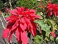 Starr 061201-1772 Euphorbia pulcherrima.jpg
