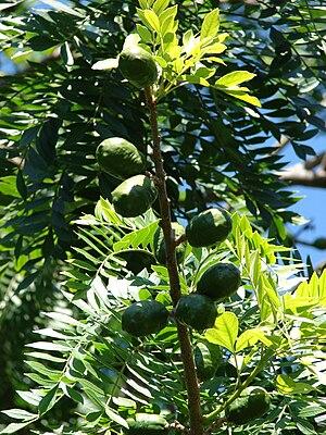 Spondias - Fruiting Spondias mombin