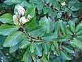 Starr 071024-9792 Grewia occidentalis.jpg