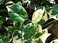 Starr 080103-1171 Pandorea jasminoides.jpg