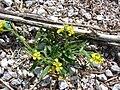 Starr 080605-6562 Brassica nigra.jpg