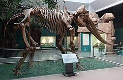甘肃省博物馆的剑齿象化石骨架.
