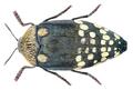 Sternocera castanea boucardii Saunders, 1874.png