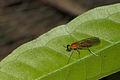 Stratiomyidae at Kadavoor.jpg