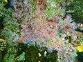 Strawberry anemones at Lorry Bay PB092344.JPG