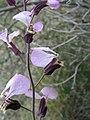 Streptanthus cutleri. Big Bend National Park, Tunnel. March 2007 (B1D6A9EF075143598C1E02A4276CE26C).JPG