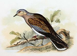 Fides (deity) - Image: Streptopelia turtur 1869