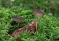 Strobilurus esculentus Fichten-Zapfenrübling pic2.jpg