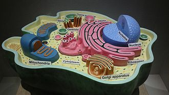 Cell (biology) - Structure of an animal cell