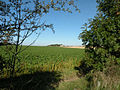 Sugar beet field - geograph.org.uk - 998896.jpg