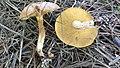 Suillus granulatus group 865726.jpg
