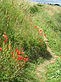 Summer poppies on the Fife Coastal path. - geograph.org.uk - 1723931.jpg