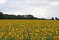 Sunflowers - geograph.org.uk - 212403.jpg