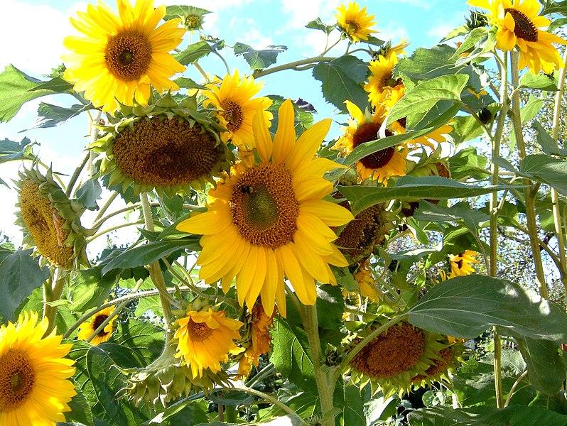 File:Sunflowers Sonnenblumen.jpg