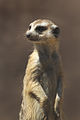 Suricata suricatta (5007187241).jpg
