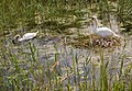 Swans on Leven Canal - geograph.org.uk - 1347645.jpg
