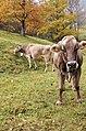 Swiss cows Valle Maggia.jpg