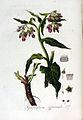 Symphytum officinale — Flora Batava — Volume v3.jpg