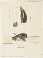Synotus barbastellus - 1700-1880 - Print - Iconographia Zoologica - Special Collections University of Amsterdam - UBA01 IZ20800109.tif