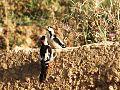 Syrian Woodpecker نقار الخشب السوري.JPG