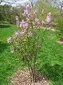Syringa oblata ssp. dilatata, Arnold Arboretum - IMG 5986.JPG
