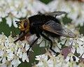 Tachina grossa (Bumblebee Tachinid) - Flickr - S. Rae (3).jpg