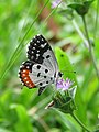 Talicada nyseus - Red Pierrot at Nilambur (6).jpg