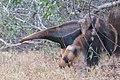 Tamanduá bandeira com filhote nas costas - Myrmecophaga tridactyla 01.jpg
